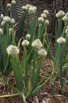 "Winterzwiebel - Allium fistulosum; Bildquelle: <a href=""https://www.pflanzen-deutschland.de/quellen.php?bild_quelle=Wikipedia User Dalgial"">Wikipedia User Dalgial</a>; Bildlizenz: <a href=""https://creativecommons.org/licenses/by-sa/3.0/deed.de"" target=_blank title=""Namensnennung - Weitergabe unter gleichen Bedingungen 3.0 Unported (CC BY-SA 3.0)"">CC BY-SA 3.0</a>;"