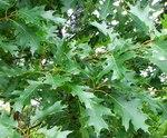 """Rot-Eiche - Quercus rubra; Bildquelle: <a href=""""https://www.pflanzen-deutschland.de/quellen.php?bild_quelle=Wikipedia User Ala z"""">Wikipedia User Ala z</a>; Bildlizenz: <a href=""""https://creativecommons.org/licenses/by-sa/3.0/deed.de"""" target=_blank title=""""Namensnennung - Weitergabe unter gleichen Bedingungen 3.0 Unported (CC BY-SA 3.0)"""">CC BY-SA 3.0</a>;"""