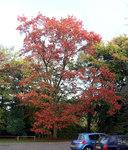 """Rot-Eiche - Quercus rubra; Bildquelle: <a href=""""https://www.pflanzen-deutschland.de/quellen.php?bild_quelle=Wikipedia User Velela"""">Wikipedia User Velela</a>; Bildlizenz: <a href=""""https://creativecommons.org/licenses/by-sa/3.0/deed.de"""" target=_blank title=""""Namensnennung - Weitergabe unter gleichen Bedingungen 3.0 Unported (CC BY-SA 3.0)"""">CC BY-SA 3.0</a>;"""