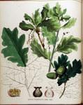 "Sumpf-Eiche - Quercus palustris; Bildquelle: <a href=""https://www.pflanzen-deutschland.de/quellen.php?bild_quelle=Wikipedia User FloraUploadR"">Wikipedia User FloraUploadR</a>; Bildlizenz: <a href=""https://creativecommons.org/licenses/by-sa/3.0/deed.de"" target=_blank title=""Namensnennung - Weitergabe unter gleichen Bedingungen 3.0 Unported (CC BY-SA 3.0)"">CC BY-SA 3.0</a>; <br>Wiki Commons Bildbeschreibung: <a href=""https://commons.wikimedia.org/wiki/File:Quercus_pedunculata_%E2%80%94_Flora_Batava_%E2%80%94_Volume_v16.jpg"" target=_blank title=""https://commons.wikimedia.org/wiki/File:Quercus_pedunculata_%E2%80%94_Flora_Batava_%E2%80%94_Volume_v16.jpg"">https://commons.wikimedia.org/wiki/File:Quercus_pedunculata_%E2%80%94_Flora_Batava_%E2%80%94_Volume_v16.jpg</a>"