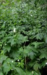 """Eisenhutblättriger Hahnenfuß - Ranunculus aconitifolius; Bildquelle: <a href=""""https://www.pflanzen-deutschland.de/quellen.php?bild_quelle=Wikipedia User Sapin88"""">Wikipedia User Sapin88</a>; Bildlizenz: <a href=""""https://creativecommons.org/licenses/by-sa/3.0/deed.de"""" target=_blank title=""""Namensnennung - Weitergabe unter gleichen Bedingungen 3.0 Unported (CC BY-SA 3.0)"""">CC BY-SA 3.0</a>; <br>Wiki Commons Bildbeschreibung: <a href=""""https://commons.wikimedia.org/wiki/File:Ranunculus_aconitifolius_Xonrupt.jpg"""" target=_blank title=""""https://commons.wikimedia.org/wiki/File:Ranunculus_aconitifolius_Xonrupt.jpg"""">https://commons.wikimedia.org/wiki/File:Ranunculus_aconitifolius_Xonrupt.jpg</a>"""