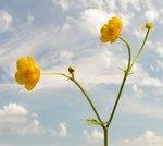 """Scharfer Hahnenfuß - Ranunculus acris; Bildquelle: <a href=""""http://www.pflanzen-deutschland.de/quellen.php?bild_quelle=Wikipedia User Bff"""">Wikipedia User Bff</a>; Bildlizenz: <a href=""""https://creativecommons.org/licenses/by-sa/3.0/deed.de"""" target=_blank title=""""Namensnennung - Weitergabe unter gleichen Bedingungen 3.0 Unported (CC BY-SA 3.0)"""">CC BY-SA 3.0</a>;"""