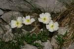 """Alpen-Hahnenfuß - Ranunculus alpestris; Bildquelle: <a href=""""https://www.pflanzen-deutschland.de/quellen.php?bild_quelle=Wikipedia User Sporti"""">Wikipedia User Sporti</a>; Bildlizenz: <a href=""""https://creativecommons.org/licenses/by-sa/3.0/deed.de"""" target=_blank title=""""Namensnennung - Weitergabe unter gleichen Bedingungen 3.0 Unported (CC BY-SA 3.0)"""">CC BY-SA 3.0</a>; <br>Wiki Commons Bildbeschreibung: <a href=""""https://commons.wikimedia.org/wiki/File:Ranunculus_alpestris_-_Veliki_podi_pod_Skuto_(2).jpg"""" target=_blank title=""""https://commons.wikimedia.org/wiki/File:Ranunculus_alpestris_-_Veliki_podi_pod_Skuto_(2).jpg"""">https://commons.wikimedia.org/wiki/File:Ranunculus_alpestris_-_Veliki_podi_pod_Skuto_(2).jpg</a>"""