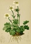 """Alpen-Hahnenfuß - Ranunculus alpestris; Bildquelle: <a href=""""https://www.pflanzen-deutschland.de/quellen.php?bild_quelle=Wikipedia User Aroche"""">Wikipedia User Aroche</a>; Bildlizenz: <a href=""""https://creativecommons.org/licenses/by-sa/3.0/deed.de"""" target=_blank title=""""Namensnennung - Weitergabe unter gleichen Bedingungen 3.0 Unported (CC BY-SA 3.0)"""">CC BY-SA 3.0</a>; <br>Wiki Commons Bildbeschreibung: <a href=""""https://commons.wikimedia.org/wiki/File:Ranunculus_alpestris_Atlas_Alpenflora.jpg"""" target=_blank title=""""https://commons.wikimedia.org/wiki/File:Ranunculus_alpestris_Atlas_Alpenflora.jpg"""">https://commons.wikimedia.org/wiki/File:Ranunculus_alpestris_Atlas_Alpenflora.jpg</a>"""