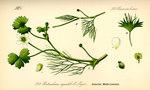 """Gewöhnlicher Wasser-Hahnenfuß - Ranunculus aquatilis; Bildquelle: <a href=""""https://www.pflanzen-deutschland.de/quellen.php?bild_quelle=Prof. Dr. Otto Wilhelm Thome Flora von Deutschland, Österreich und der Schweiz 1885, Gera, Germany"""">Prof. Dr. Otto Wilhelm Thome Flora von Deutschland, Österreich und der Schweiz 1885, Gera, Germany</a>; Bildlizenz: <a href=""""https://creativecommons.org/licenses/publicdomain/deed.de"""" target=_blank title=""""Public Domain"""">Public Domain</a>;"""
