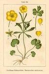 """Gewöhnlicher Gold-Hahnenfuß - Ranunculus auricomus; Bildquelle: <a href=""""https://www.pflanzen-deutschland.de/quellen.php?bild_quelle=Deutschlands Flora in Abbildungen 1796"""">Deutschlands Flora in Abbildungen 1796</a>; Bildlizenz: <a href=""""https://creativecommons.org/licenses/publicdomain/deed.de"""" target=_blank title=""""Public Domain"""">Public Domain</a>;"""