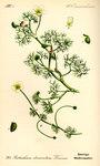 """Spreizender Wasser-Hahnenfuß - Ranunculus circinatus; Bildquelle: <a href=""""https://www.pflanzen-deutschland.de/quellen.php?bild_quelle=Prof. Dr. Otto Wilhelm Thome Flora von Deutschland, Österreich und der Schweiz 1885, Gera, Germany"""">Prof. Dr. Otto Wilhelm Thome Flora von Deutschland, Österreich und der Schweiz 1885, Gera, Germany</a>; Bildlizenz: <a href=""""https://creativecommons.org/licenses/publicdomain/deed.de"""" target=_blank title=""""Public Domain"""">Public Domain</a>;"""