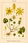 "Scharbockskraut - Ficaria verna; Bildquelle: <a href=""https://www.pflanzen-deutschland.de/quellen.php?bild_quelle=Deutschlands Flora in Abbildungen 1796"">Deutschlands Flora in Abbildungen 1796</a>; Bildlizenz: <a href=""https://creativecommons.org/licenses/publicdomain/deed.de"" target=_blank title=""Public Domain"">Public Domain</a>;"