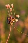 """Gemüse-Lauch - Allium oleraceum; Bildquelle: <a href=""""https://www.pflanzen-deutschland.de/quellen.php?bild_quelle=Wikipedia User Iifar"""">Wikipedia User Iifar</a>; Bildlizenz: <a href=""""https://creativecommons.org/licenses/by-sa/3.0/deed.de"""" target=_blank title=""""Namensnennung - Weitergabe unter gleichen Bedingungen 3.0 Unported (CC BY-SA 3.0)"""">CC BY-SA 3.0</a>; <br>Wiki Commons Bildbeschreibung: <a href=""""https://commons.wikimedia.org/wiki/File:Allium_oleraceum_-_rohulauk_Keilas2.jpg"""" target=_blank title=""""https://commons.wikimedia.org/wiki/File:Allium_oleraceum_-_rohulauk_Keilas2.jpg"""">https://commons.wikimedia.org/wiki/File:Allium_oleraceum_-_rohulauk_Keilas2.jpg</a>"""