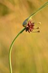 """Gemüse-Lauch - Allium oleraceum; Bildquelle: <a href=""""https://www.pflanzen-deutschland.de/quellen.php?bild_quelle=Wikipedia User Iifar"""">Wikipedia User Iifar</a>; Bildlizenz: <a href=""""https://creativecommons.org/licenses/by-sa/3.0/deed.de"""" target=_blank title=""""Namensnennung - Weitergabe unter gleichen Bedingungen 3.0 Unported (CC BY-SA 3.0)"""">CC BY-SA 3.0</a>; <br>Wiki Commons Bildbeschreibung: <a href=""""https://commons.wikimedia.org/wiki/File:Allium_oleraceum_-_rohulauk.jpg"""" target=_blank title=""""https://commons.wikimedia.org/wiki/File:Allium_oleraceum_-_rohulauk.jpg"""">https://commons.wikimedia.org/wiki/File:Allium_oleraceum_-_rohulauk.jpg</a>"""