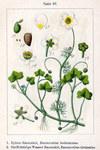 """Efeublättriger Wasser-Hahnenfuß - Ranunculus hederaceus; Bildquelle: <a href=""""https://www.pflanzen-deutschland.de/quellen.php?bild_quelle=Deutschlands Flora in Abbildungen, Johann Georg Sturm 1796"""">Deutschlands Flora in Abbildungen, Johann Georg Sturm 1796</a>; Bildlizenz: <a href=""""https://creativecommons.org/licenses/publicdomain/deed.de"""" target=_blank title=""""Public Domain"""">Public Domain</a>;"""