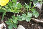 """Gewöhnlicher Berg-Hahnenfuß - Ranunculus montanus; Bildquelle: <a href=""""https://www.pflanzen-deutschland.de/quellen.php?bild_quelle=Wikipedia User Enrico Blasutto"""">Wikipedia User Enrico Blasutto</a>; Bildlizenz: <a href=""""https://creativecommons.org/licenses/by-sa/3.0/deed.de"""" target=_blank title=""""Namensnennung - Weitergabe unter gleichen Bedingungen 3.0 Unported (CC BY-SA 3.0)"""">CC BY-SA 3.0</a>; <br>Wiki Commons Bildbeschreibung: <a href=""""https://commons.wikimedia.org/wiki/File:Ranunculus_montanus_ENBLA02.jpg"""" target=_blank title=""""https://commons.wikimedia.org/wiki/File:Ranunculus_montanus_ENBLA02.jpg"""">https://commons.wikimedia.org/wiki/File:Ranunculus_montanus_ENBLA02.jpg</a>"""