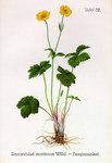 """Gewöhnlicher Berg-Hahnenfuß - Ranunculus montanus; Bildquelle: <a href=""""https://www.pflanzen-deutschland.de/quellen.php?bild_quelle=Friedrich Oltmanns Pflanzenleben des Schwarzwaldes Tafeln 1927"""">Friedrich Oltmanns Pflanzenleben des Schwarzwaldes Tafeln 1927</a>; Bildlizenz: <a href=""""https://creativecommons.org/licenses/publicdomain/deed.de"""" target=_blank title=""""Public Domain"""">Public Domain</a>;"""
