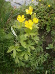 """Hain-Hahnenfuß - Ranunculus nemorosus; Bildquelle: <a href=""""https://www.pflanzen-deutschland.de/quellen.php?bild_quelle=Wikipedia User Meneerke bloem"""">Wikipedia User Meneerke bloem</a>; Bildlizenz: <a href=""""https://creativecommons.org/licenses/by-sa/3.0/deed.de"""" target=_blank title=""""Namensnennung - Weitergabe unter gleichen Bedingungen 3.0 Unported (CC BY-SA 3.0)"""">CC BY-SA 3.0</a>; <br>Wiki Commons Bildbeschreibung: <a href=""""https://commons.wikimedia.org/wiki/File:Ranunculus_nemorosus_001.JPG"""" target=_blank title=""""https://commons.wikimedia.org/wiki/File:Ranunculus_nemorosus_001.JPG"""">https://commons.wikimedia.org/wiki/File:Ranunculus_nemorosus_001.JPG</a>"""