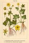 "Hain-Hahnenfuß - Ranunculus nemorosus; Bildquelle: <a href=""https://www.pflanzen-deutschland.de/quellen.php?bild_quelle=Deutschlands Flora in Abbildungen 1796"">Deutschlands Flora in Abbildungen 1796</a>; Bildlizenz: <a href=""https://creativecommons.org/licenses/publicdomain/deed.de"" target=_blank title=""Public Domain"">Public Domain</a>;"