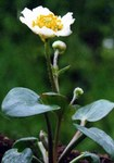 "Herzblättriger Hahnenfuß - Ranunculus parnassiifolius; Bildquelle: <a href=""https://www.pflanzen-deutschland.de/quellen.php?bild_quelle=Wikipedia User Ghislain118"">Wikipedia User Ghislain118</a>; Bildlizenz: <a href=""https://creativecommons.org/licenses/by-sa/3.0/deed.de"" target=_blank title=""Namensnennung - Weitergabe unter gleichen Bedingungen 3.0 Unported (CC BY-SA 3.0)"">CC BY-SA 3.0</a>; <br>Wiki Commons Bildbeschreibung: <a href=""https://commons.wikimedia.org/wiki/File:Ranunculus_parnassifolius_3.jpg"" target=_blank title=""https://commons.wikimedia.org/wiki/File:Ranunculus_parnassifolius_3.jpg"">https://commons.wikimedia.org/wiki/File:Ranunculus_parnassifolius_3.jpg</a>"
