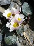 """Herzblättriger Hahnenfuß - Ranunculus parnassiifolius; Bildquelle: <a href=""""https://www.pflanzen-deutschland.de/quellen.php?bild_quelle=Wikipedia User Josve05a"""">Wikipedia User Josve05a</a>; Bildlizenz: <a href=""""https://creativecommons.org/licenses/by-sa/2.0/deed.de"""" target=_blank title=""""Namensnennung - Weitergabe unter gleichen Bedingungen 2.0 Unported (CC BY-SA 2.0)"""">CC BY 2.0</a>; <br>Wiki Commons Bildbeschreibung: <a href=""""https://commons.wikimedia.org/wiki/File:Ranunculus_parnassifolius_subsp._parnassifolius_(Herba_del_mal_gra)_(15922322573).jpg"""" target=_blank title=""""https://commons.wikimedia.org/wiki/File:Ranunculus_parnassifolius_subsp._parnassifolius_(Herba_del_mal_gra)_(15922322573).jpg"""">https://commons.wikimedia.org/wiki/File:Ranunculus_parnassifolius_subsp._parnassifolius_(Herba_del_mal_gra)_(15922322573).jpg</a>"""