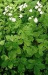 """Platanenblättriger Hahnenfuß - Ranunculus platanifolius; Bildquelle: &copy; <a href=""""https://www.pflanzen-deutschland.de/quellen.php?bild_quelle=Bönisch 2016"""">Bönisch 2016</a> - <b>All rights reserved</b>"""