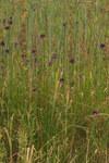 """Schlangen-Lauch - Allium scorodoprasum; Bildquelle: <a href=""""https://www.pflanzen-deutschland.de/quellen.php?bild_quelle=Wikipedia User Petr1888"""">Wikipedia User Petr1888</a>; Bildlizenz: <a href=""""https://creativecommons.org/licenses/by-sa/3.0/deed.de"""" target=_blank title=""""Namensnennung - Weitergabe unter gleichen Bedingungen 3.0 Unported (CC BY-SA 3.0)"""">CC BY-SA 3.0</a>; <br>Wiki Commons Bildbeschreibung: <a href=""""https://commons.wikimedia.org/wiki/File:PP_Na_bahn%C4%9B_02.jpg"""" target=_blank title=""""https://commons.wikimedia.org/wiki/File:PP_Na_bahn%C4%9B_02.jpg"""">https://commons.wikimedia.org/wiki/File:PP_Na_bahn%C4%9B_02.jpg</a>"""