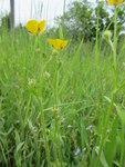 """Vielblütiger Hain-Hahnenfuß - Ranunculus polyanthemos; Bildquelle: <a href=""""https://www.pflanzen-deutschland.de/quellen.php?bild_quelle=Wikipedia User Don Pedro"""">Wikipedia User Don Pedro</a>; Bildlizenz: <a href=""""https://creativecommons.org/licenses/by-sa/3.0/deed.de"""" target=_blank title=""""Namensnennung - Weitergabe unter gleichen Bedingungen 3.0 Unported (CC BY-SA 3.0)"""">CC BY-SA 3.0</a>; <br>Wiki Commons Bildbeschreibung: <a href=""""https://commons.wikimedia.org/wiki/File:Ranunculus_polyanthemos2.jpg"""" target=_blank title=""""https://commons.wikimedia.org/wiki/File:Ranunculus_polyanthemos2.jpg"""">https://commons.wikimedia.org/wiki/File:Ranunculus_polyanthemos2.jpg</a>"""