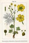 """Vielblütiger Hain-Hahnenfuß - Ranunculus polyanthemos; Bildquelle: <a href=""""https://www.pflanzen-deutschland.de/quellen.php?bild_quelle=Wikipedia User Chris.urs-o"""">Wikipedia User Chris.urs-o</a>; Bildlizenz: <a href=""""https://creativecommons.org/licenses/by-sa/3.0/deed.de"""" target=_blank title=""""Namensnennung - Weitergabe unter gleichen Bedingungen 3.0 Unported (CC BY-SA 3.0)"""">CC BY-SA 3.0</a>; <br>Wiki Commons Bildbeschreibung: <a href=""""http://commons.wikimedia.org/wiki/File:Ranunculus_polyanthemos_Sturm05049.jpg"""" target=_blank title=""""http://commons.wikimedia.org/wiki/File:Ranunculus_polyanthemos_Sturm05049.jpg"""">http://commons.wikimedia.org/wiki/File:Ranunculus_polyanthemos_Sturm05049.jpg</a>"""