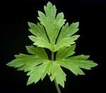 """Kriechender Hahnenfuß - Ranunculus repens; Bildquelle: <a href=""""https://www.pflanzen-deutschland.de/quellen.php?bild_quelle=Wikipedia User Ies"""">Wikipedia User Ies</a>; Bildlizenz: <a href=""""https://creativecommons.org/licenses/by-sa/3.0/deed.de"""" target=_blank title=""""Namensnennung - Weitergabe unter gleichen Bedingungen 3.0 Unported (CC BY-SA 3.0)"""">CC BY-SA 3.0</a>; <br>Wiki Commons Bildbeschreibung: <a href=""""https://commons.wikimedia.org/wiki/File:Ranunculus_repens_03_ies.jpg"""" target=_blank title=""""https://commons.wikimedia.org/wiki/File:Ranunculus_repens_03_ies.jpg"""">https://commons.wikimedia.org/wiki/File:Ranunculus_repens_03_ies.jpg</a>"""