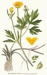 """Kriechender Hahnenfuß - Ranunculus repens; Bildquelle: <a href=""""https://www.pflanzen-deutschland.de/quellen.php?bild_quelle=Carl Axel Magnus Lindman Bilder ur Nordens Flora 1901-1905"""">Carl Axel Magnus Lindman Bilder ur Nordens Flora 1901-1905</a>; Bildlizenz: <a href=""""https://creativecommons.org/licenses/publicdomain/deed.de"""" target=_blank title=""""Public Domain"""">Public Domain</a>;"""
