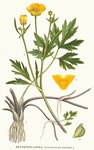 "Kriechender Hahnenfuß - Ranunculus repens; Bildquelle: <a href=""http://www.pflanzen-deutschland.de/quellen.php?bild_quelle=Carl Axel Magnus Lindman Bilder ur Nordens Flora 1901-1905"">Carl Axel Magnus Lindman Bilder ur Nordens Flora 1901-1905</a>; Bildlizenz: <a href=""https://creativecommons.org/licenses/publicdomain/deed.de"" target=_blank title=""Public Domain"">Public Domain</a>;"