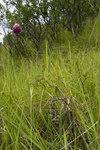 """Kugelköpfiger Lauch - Allium sphaerocephalon; Bildquelle: <a href=""""https://www.pflanzen-deutschland.de/quellen.php?bild_quelle=Wikipedia User Pichard"""">Wikipedia User Pichard</a>; Bildlizenz: <a href=""""https://creativecommons.org/licenses/by-sa/3.0/deed.de"""" target=_blank title=""""Namensnennung - Weitergabe unter gleichen Bedingungen 3.0 Unported (CC BY-SA 3.0)"""">CC BY-SA 3.0</a>;"""