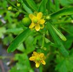 """Gift-Hahnenfuß - Ranunculus sceleratus; Bildquelle: <a href=""""https://www.pflanzen-deutschland.de/quellen.php?bild_quelle=H. Zell"""">H. Zell</a>; Bildlizenz: <a href=""""https://creativecommons.org/licenses/by-sa/3.0/deed.de"""" target=_blank title=""""Namensnennung - Weitergabe unter gleichen Bedingungen 3.0 Unported (CC BY-SA 3.0)"""">CC BY-SA 3.0</a>;"""