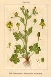 "Gift-Hahnenfuß - Ranunculus sceleratus; Bildquelle: <a href=""https://www.pflanzen-deutschland.de/quellen.php?bild_quelle=Deutschlands Flora in Abbildungen, Johann Georg Sturm 1796"">Deutschlands Flora in Abbildungen, Johann Georg Sturm 1796</a>; Bildlizenz: <a href=""https://creativecommons.org/licenses/publicdomain/deed.de"" target=_blank title=""Public Domain"">Public Domain</a>;"