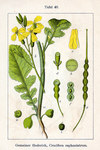 """Hederich - Raphanus raphanistrum; Bildquelle: <a href=""""https://www.pflanzen-deutschland.de/quellen.php?bild_quelle=Deutschlands Flora in Abbildungen, Johann Georg """">Deutschlands Flora in Abbildungen, Johann Georg </a>; Bildlizenz: <a href=""""https://creativecommons.org/licenses/publicdomain/deed.de"""" target=_blank title=""""Public Domain"""">Public Domain</a>;"""