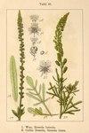 """Gelber Wau - Reseda lutea; Bildquelle: <a href=""""https://www.pflanzen-deutschland.de/quellen.php?bild_quelle=Deutschlands Flora in Abbildungen, Johann Georg Sturm 1796"""">Deutschlands Flora in Abbildungen, Johann Georg Sturm 1796</a>; Bildlizenz: <a href=""""https://creativecommons.org/licenses/publicdomain/deed.de"""" target=_blank title=""""Public Domain"""">Public Domain</a>;"""