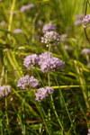 """Wohlriechender Lauch - Allium suaveolens; Bildquelle: <a href=""""https://www.pflanzen-deutschland.de/quellen.php?bild_quelle=Wikipedia User SteinsplitterBot"""">Wikipedia User SteinsplitterBot</a>; Bildlizenz: <a href=""""https://creativecommons.org/licenses/by-sa/3.0/deed.de"""" target=_blank title=""""Namensnennung - Weitergabe unter gleichen Bedingungen 3.0 Unported (CC BY-SA 3.0)"""">CC BY-SA 3.0</a>; <br>Wiki Commons Bildbeschreibung: <a href=""""https://commons.wikimedia.org/wiki/File:Allium_suaveolens_PID1915-5.jpg"""" target=_blank title=""""https://commons.wikimedia.org/wiki/File:Allium_suaveolens_PID1915-5.jpg"""">https://commons.wikimedia.org/wiki/File:Allium_suaveolens_PID1915-5.jpg</a>"""