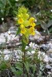 """Alpen-Klappertopf - Rhinanthus alpinus; Bildquelle: <a href=""""https://www.pflanzen-deutschland.de/quellen.php?bild_quelle=Wikipedia User Enrico Blasutto"""">Wikipedia User Enrico Blasutto</a>; Bildlizenz: <a href=""""https://creativecommons.org/licenses/by-sa/3.0/deed.de"""" target=_blank title=""""Namensnennung - Weitergabe unter gleichen Bedingungen 3.0 Unported (CC BY-SA 3.0)"""">CC BY-SA 3.0</a>;"""