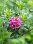 """Rostblättrige Alpenrose - Rhododendron ferrugineum; Bildquelle: <a href=""""https://www.pflanzen-deutschland.de/quellen.php?bild_quelle=Wikipedia User Lycaon"""">Wikipedia User Lycaon</a>; Bildlizenz: <a href=""""https://creativecommons.org/licenses/by-sa/3.0/deed.de"""" target=_blank title=""""Namensnennung - Weitergabe unter gleichen Bedingungen 3.0 Unported (CC BY-SA 3.0)"""">CC BY-SA 3.0</a>;"""