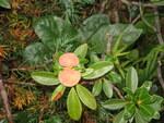 """Rostblättrige Alpenrose - Rhododendron ferrugineum; Bildquelle: <a href=""""https://www.pflanzen-deutschland.de/quellen.php?bild_quelle=Wikipedia User Meneerke bloem"""">Wikipedia User Meneerke bloem</a>; Bildlizenz: <a href=""""https://creativecommons.org/licenses/by-sa/3.0/deed.de"""" target=_blank title=""""Namensnennung - Weitergabe unter gleichen Bedingungen 3.0 Unported (CC BY-SA 3.0)"""">CC BY-SA 3.0</a>; <br>Wiki Commons Bildbeschreibung: <a href=""""https://commons.wikimedia.org/wiki/File:Rhododendron_ferrugineum_with_gall01.jpg"""" target=_blank title=""""https://commons.wikimedia.org/wiki/File:Rhododendron_ferrugineum_with_gall01.jpg"""">https://commons.wikimedia.org/wiki/File:Rhododendron_ferrugineum_with_gall01.jpg</a>"""