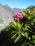 """Rostblättrige Alpenrose - Rhododendron ferrugineum; Bildquelle: <a href=""""https://www.pflanzen-deutschland.de/quellen.php?bild_quelle=Wikipedia User Franck Hidvegi"""">Wikipedia User Franck Hidvegi</a>; Bildlizenz: <a href=""""https://creativecommons.org/licenses/by/4.0/deed.de"""" target=_blank title=""""Namensnennung 4.0 International (CC BY 4.0)"""">CC BY 4.0</a>; <br>Wiki Commons Bildbeschreibung: <a href=""""https://commons.wikimedia.org/wiki/File:Rhododendron_ferrugineum.jpg"""" target=_blank title=""""https://commons.wikimedia.org/wiki/File:Rhododendron_ferrugineum.jpg"""">https://commons.wikimedia.org/wiki/File:Rhododendron_ferrugineum.jpg</a>"""