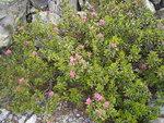 """Rostblättrige Alpenrose - Rhododendron ferrugineum; Bildquelle: <a href=""""https://www.pflanzen-deutschland.de/quellen.php?bild_quelle=Wikipedia User TeunSpaans"""">Wikipedia User TeunSpaans</a>; Bildlizenz: <a href=""""https://creativecommons.org/licenses/by-sa/3.0/deed.de"""" target=_blank title=""""Namensnennung - Weitergabe unter gleichen Bedingungen 3.0 Unported (CC BY-SA 3.0)"""">CC BY-SA 3.0</a>;"""