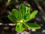 """Bewimperte Alpenrose - Rhododendron hirsutum; Bildquelle: <a href=""""https://www.pflanzen-deutschland.de/quellen.php?bild_quelle=Wikipedia User Uoaei1"""">Wikipedia User Uoaei1</a>; Bildlizenz: <a href=""""https://creativecommons.org/licenses/by/4.0/deed.de"""" target=_blank title=""""Namensnennung 4.0 International (CC BY 4.0)"""">CC BY 4.0</a>; <br>Wiki Commons Bildbeschreibung: <a href=""""https://commons.wikimedia.org/wiki/File:Rhododendron_hirsutum_Bl%C3%A4tter_Mitterbach_20160708.jpg"""" target=_blank title=""""https://commons.wikimedia.org/wiki/File:Rhododendron_hirsutum_Bl%C3%A4tter_Mitterbach_20160708.jpg"""">https://commons.wikimedia.org/wiki/File:Rhododendron_hirsutum_Bl%C3%A4tter_Mitterbach_20160708.jpg</a>"""