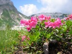 """Bewimperte Alpenrose - Rhododendron hirsutum; Bildquelle: <a href=""""https://www.pflanzen-deutschland.de/quellen.php?bild_quelle=Wikipedia User Tigerente"""">Wikipedia User Tigerente</a>; Bildlizenz: <a href=""""https://creativecommons.org/licenses/by-sa/3.0/deed.de"""" target=_blank title=""""Namensnennung - Weitergabe unter gleichen Bedingungen 3.0 Unported (CC BY-SA 3.0)"""">CC BY-SA 3.0</a>; <br>Wiki Commons Bildbeschreibung: <a href=""""https://commons.wikimedia.org/wiki/File:Rhododendron_hirsutum2006.jpg"""" target=_blank title=""""https://commons.wikimedia.org/wiki/File:Rhododendron_hirsutum2006.jpg"""">https://commons.wikimedia.org/wiki/File:Rhododendron_hirsutum2006.jpg</a>"""