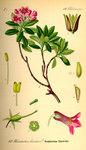 """Bewimperte Alpenrose - Rhododendron hirsutum; Bildquelle: <a href=""""https://www.pflanzen-deutschland.de/quellen.php?bild_quelle=Prof. Dr. Otto Wilhelm Thome Flora von Deutschland, Österreich und der Schweiz 1885, Gera, Germany"""">Prof. Dr. Otto Wilhelm Thome Flora von Deutschland, Österreich und der Schweiz 1885, Gera, Germany</a>; Bildlizenz: <a href=""""https://creativecommons.org/licenses/publicdomain/deed.de"""" target=_blank title=""""Public Domain"""">Public Domain</a>;"""