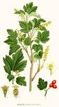 """Alpen Johannisbeere - Ribes alpinum; Bildquelle: <a href=""""https://www.pflanzen-deutschland.de/quellen.php?bild_quelle=Carl Axel Magnus Lindman Bilder ur Nordens Flora 1901-1905"""">Carl Axel Magnus Lindman Bilder ur Nordens Flora 1901-1905</a>; Bildlizenz: <a href=""""https://creativecommons.org/licenses/publicdomain/deed.de"""" target=_blank title=""""Public Domain"""">Public Domain</a>;"""