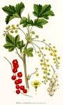 "Rote Johannisbeere - Ribes rubrum var. domesticum; Bildquelle: <a href=""https://www.pflanzen-deutschland.de/quellen.php?bild_quelle=Carl Axel Magnus Lindman Bilder ur Nordens Flora 1901-1905"">Carl Axel Magnus Lindman Bilder ur Nordens Flora 1901-1905</a>; Bildlizenz: <a href=""https://creativecommons.org/licenses/publicdomain/deed.de"" target=_blank title=""Public Domain"">Public Domain</a>;"