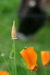 "Kalifornischer Mohn - Eschscholtzia californica; Bildquelle: © <a href=""https://www.pflanzen-deutschland.de/quellen.php?bild_quelle=Bönisch 2008"">Bönisch 2008</a> - <b>All rights reserved</b>"