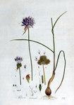 """Weinbergs-Lauch - Allium vineale; Bildquelle: <a href=""""https://www.pflanzen-deutschland.de/quellen.php?bild_quelle=Jan Kops, Flora Batava, Volume 2 1807"""">Jan Kops, Flora Batava, Volume 2 1807</a>; Bildlizenz: <a href=""""https://creativecommons.org/licenses/by-sa/3.0/deed.de"""" target=_blank title=""""Namensnennung - Weitergabe unter gleichen Bedingungen 3.0 Unported (CC BY-SA 3.0)"""">CC BY-SA 3.0</a>;"""
