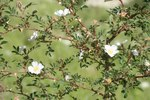 "Feld-Rose - Rosa agrestis; Bildquelle: <a href=""https://www.pflanzen-deutschland.de/quellen.php?bild_quelle=Wikipedia User Abalg"">Wikipedia User Abalg</a>; Bildlizenz: <a href=""https://creativecommons.org/licenses/by-sa/3.0/deed.de"" target=_blank title=""Namensnennung - Weitergabe unter gleichen Bedingungen 3.0 Unported (CC BY-SA 3.0)"">CC BY-SA 3.0</a>;"
