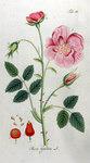 """Essig-Rose - Rosa gallica; Bildquelle: <a href=""""https://www.pflanzen-deutschland.de/quellen.php?bild_quelle=Adolphus Ypey 1813"""">Adolphus Ypey 1813</a>; Bildlizenz: <a href=""""https://creativecommons.org/licenses/by-sa/3.0/deed.de"""" target=_blank title=""""Namensnennung - Weitergabe unter gleichen Bedingungen 3.0 Unported (CC BY-SA 3.0)"""">CC BY-SA 3.0</a>;"""