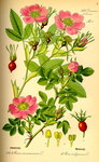 """Zimt-Rose - Rosa majalis; Bildquelle: <a href=""""https://www.pflanzen-deutschland.de/quellen.php?bild_quelle=Prof. Dr. Otto Wilhelm Thom� Flora von Deutschland, Österreich und der Schweiz 1885, Gera, Germany"""">Prof. Dr. Otto Wilhelm Thom� Flora von Deutschland, Österreich und der Schweiz 1885, Gera, Germany</a>; Bildlizenz: <a href=""""https://creativecommons.org/licenses/publicdomain/deed.de"""" target=_blank title=""""Public Domain"""">Public Domain</a>;"""