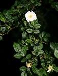 """Kleinblütige Rose - Rosa micrantha; Bildquelle: <a href=""""https://www.pflanzen-deutschland.de/quellen.php?bild_quelle=Wikipedia User Franz Xaver"""">Wikipedia User Franz Xaver</a>; Bildlizenz: <a href=""""https://creativecommons.org/licenses/by-sa/3.0/deed.de"""" target=_blank title=""""Namensnennung - Weitergabe unter gleichen Bedingungen 3.0 Unported (CC BY-SA 3.0)"""">CC BY-SA 3.0</a>;"""